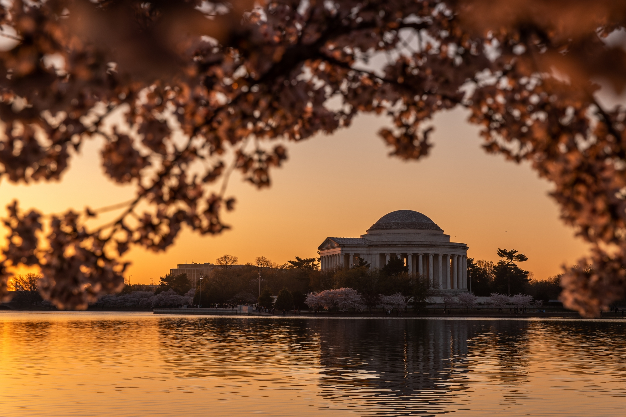 Cherry Blossoms at Sunset, Jefferson Memorial